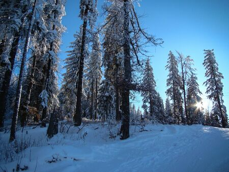 Beautiful Snow Covered Conifer Trees in sunny days, Poiana Brasov, Romania 免版税图像