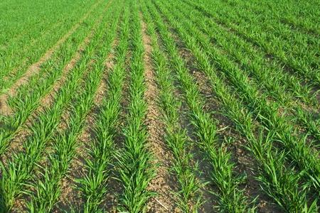 Wheat Planting Stock Photo - 11886382