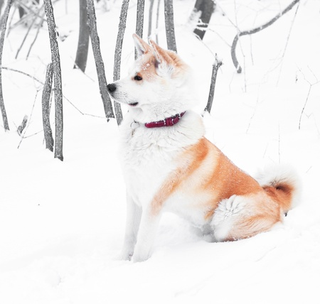 Akita dog in the forest photo