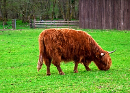 Cow in Scotland  photo