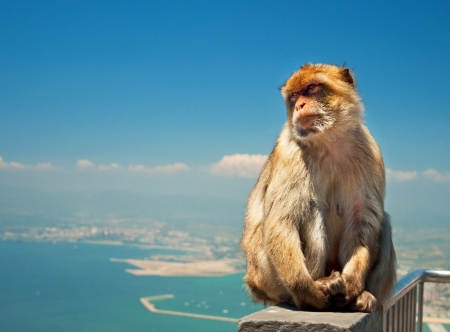 Monkey in Gibraltar  photo