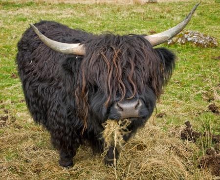 highlander: Vaca en el campo escoc?
