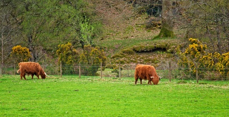 Brown Scottish cow in the farm photo