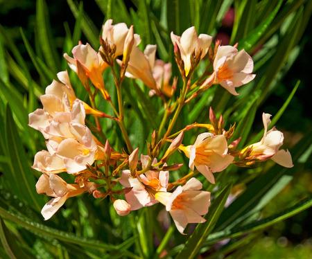 Nice oleander in the garden Stock Photo