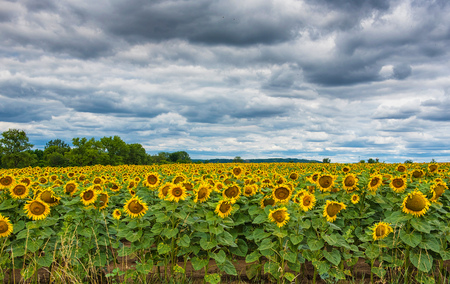 field of blooming sunflowers. Stock Photo