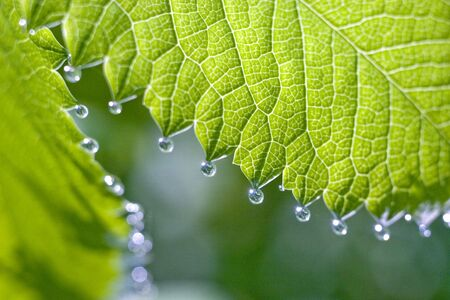 Small silvery drops of dew on a green sheet.