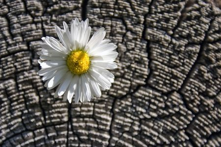 White flower on a background of an old tree.