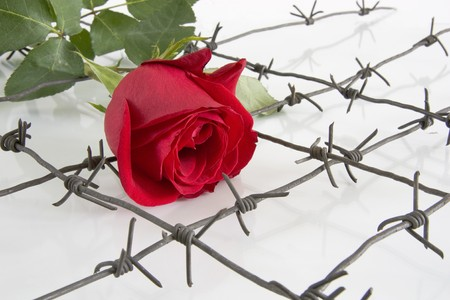 The Barbed wire with red rose on white background. Stock Photo