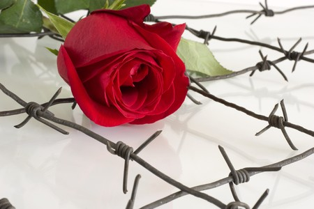 The Barbed wire with red rose. Stock Photo