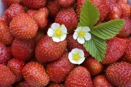 White flower, green sheet on a background of red wild strawberry. Stock Photo