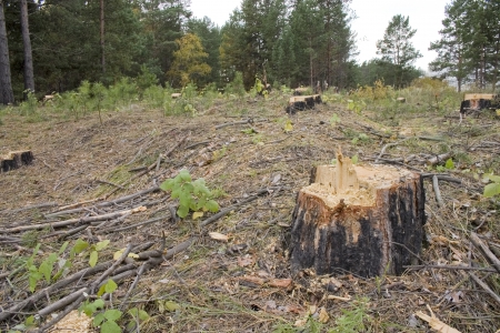 Stump of a freshly cut tree surrounded by saw dus. Stock Photo