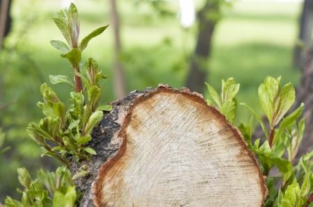 Stump of the cut tree  Green sheets  photo