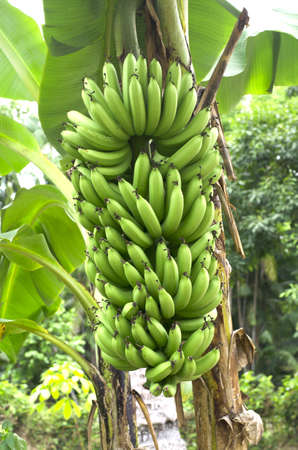edible leaves: green banana on a tree in forest