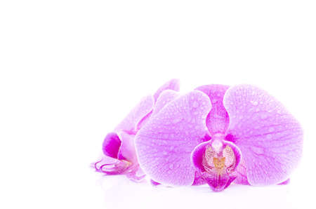 orchid on the white background photo
