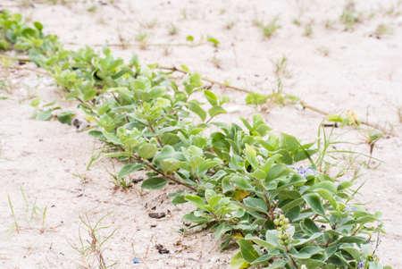 trifolia: Vitex trifolia Linn is herb in Thailand