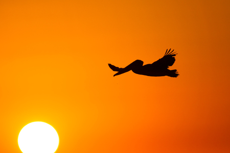 Brown pelican (Pelecanus occidentalis) in flight with a setting sun. Фото со стока