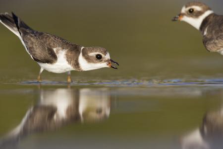 Semipalmated plover (Charadrius semipalmatus) defending its territory on Florida beach.