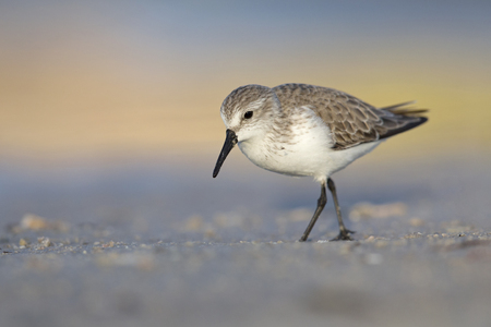 Sanderling (Calidris alba) foraging on Florida beach.