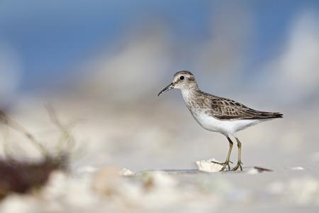 least sandpiper (Calidris minutilla) foraging on the beach of Key West. Banco de Imagens