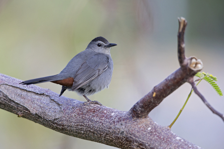 The Gray catbird (Dumetella carolinensis) perched in a tree. Stock Photo