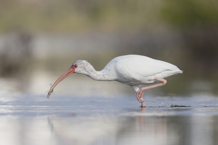 The American white ibis (Eudocimus albus) foraging and catching crabs in a pond at Fort Meyers Beach.