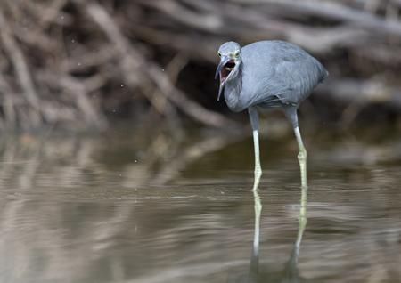 little blue heron (Egretta caerulea) catching a fish that flies in its beak. 版權商用圖片