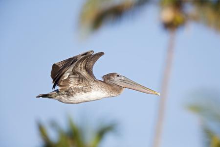 A brown pelican (Pelecanus occidentalis) in flight at Fort Myers Beach Florida. Stock Photo