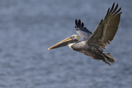 A brown pelican (Pelecanus occidentalis) in flight over water at Fort Myers Beach. Stock Photo