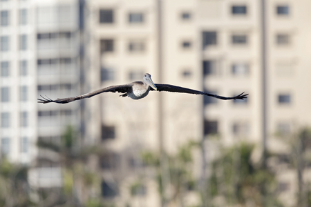 A brown pelican (Pelecanus occidentalis) flying in front of condominiums at Fort Myers Beach Florida. Stock Photo
