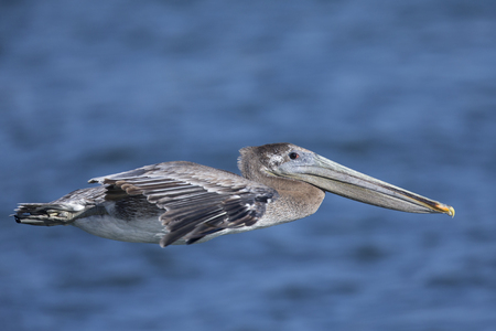 A brown pelican (Pelecanus occidentalis) in flight over water at Moss landing California. Stock Photo - 108112648