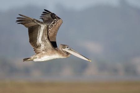 A brown pelican (Pelecanus occidentalis) in flight at Moss landing California. Stock Photo