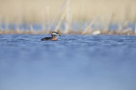 A red-necked grebe (Podiceps grisegena) swimming and foraging at the village Linum Germany.