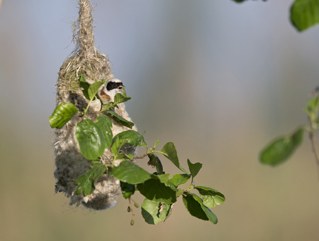 An adult Eurasian penduline tit (Remiz pendulinus) calling for a female out of its nest what he is making at the lakes of Linum Germany ..