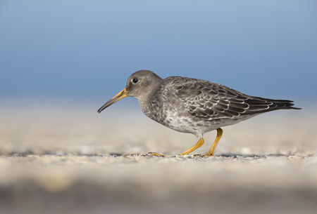 A purple sandpiper (Calidris maritima) walking and foraging in the morning sun on the Island Heligoland