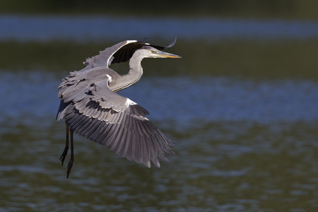 A gray heron (Ardea cinerea) in flight infront of a dark water background with the morning sun shining on the heron.