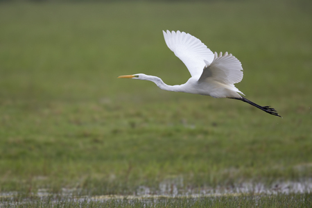 An adult Great egret Ardea alba taking off to the sky in a nature reserve in Poland. With flooded fields and trees.