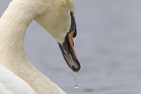 A portrait of a mute swan (Cygnus olor) that is drinking water. With water still dripping of its feathers and beak. Imagens