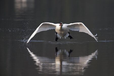 An elegant mute swan Cygnus olor flying highspeed towards the camera low over water. 免版税图像