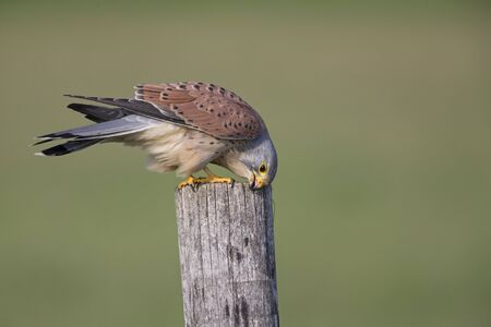 A female common kestrel (Falco tinnunculus) perched and preening its beak and feathers. Perched on a wooden pole in front of a green meadow.