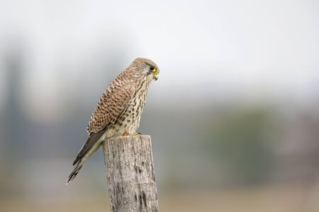 A female common kestrel (Falco tinnunculus) perched on the lookout ready to hunt mice.
