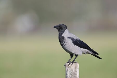A Hooded crow perched on a wooden pole in the centre of the city Berlin. Banco de Imagens