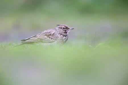Lateral view of a Crested Lark resting in a city center of The Netherlands. selected focus in a urban area with a green background