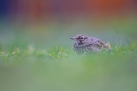Lateral view of a Crested Lark resting in a city center of The Netherlands. In a urban area with a colorful background.