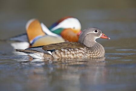 A adult couple of mandarin ducks swimming and foraging in a city pond in the capital city of Berlin Germany Imagens