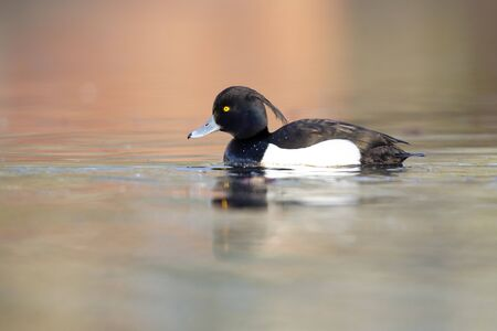 An adult male tufted duck (Aythya fuligula) swimming and foraging in a city pond in the capital city of Berlin Germany.