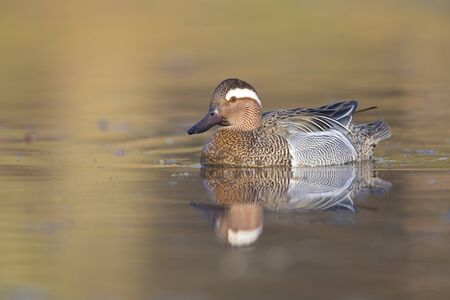 An adult male garganey duck swimming and foraging in a pond in the city of Berlin Germany.