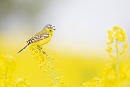 An adult yellow wagtail perched and singing on the blossom of a rapeseed field.