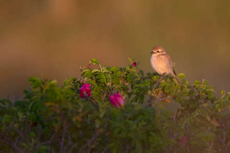 A female red-backed shrike perched on a bush in the late evening in Denmark.