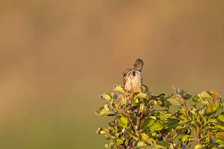Meadow Pipit (Anthus pratensis) perched and preening on a bush in the late evening in Denmark.