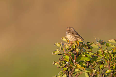 Meadow Pipit (Anthus pratensis) perched and singing on a bush in the late evening in Denmark. Stok Fotoğraf